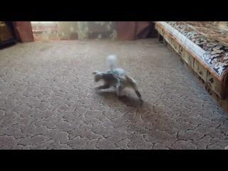 Кошачье головокружение
